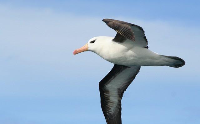 Los albatros se mueven de forma muy eficiente en el aire y utilizando el planeo dinámico cubren grandes distancias con poco esfuerzo.