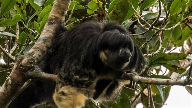 saki-monkey-brazil2