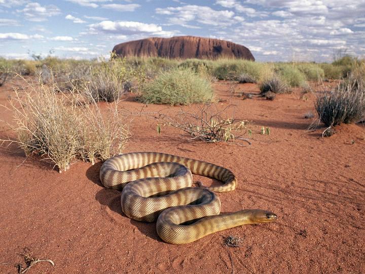 El Uluru (al fondo en la foto) es una formación rocosa compuesta por arenisca que se encuentra en el centro de Australia, en el Territorio del Norte a 460 km al suroeste de Alice Springs.