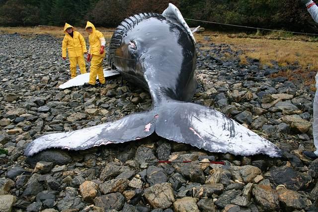 Ballena varada en la isla  Baranof, Alaska.