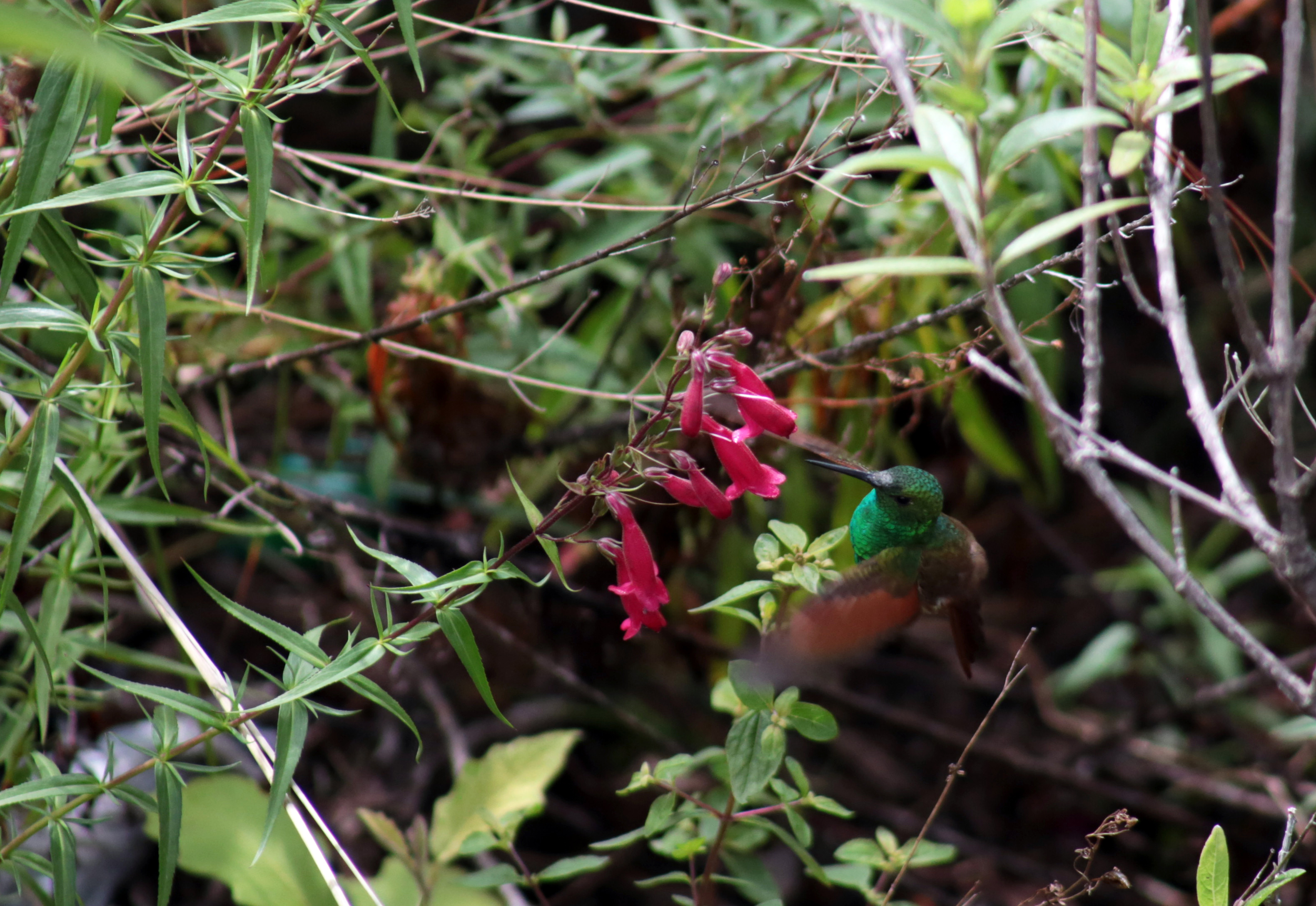 dieta de la colibri