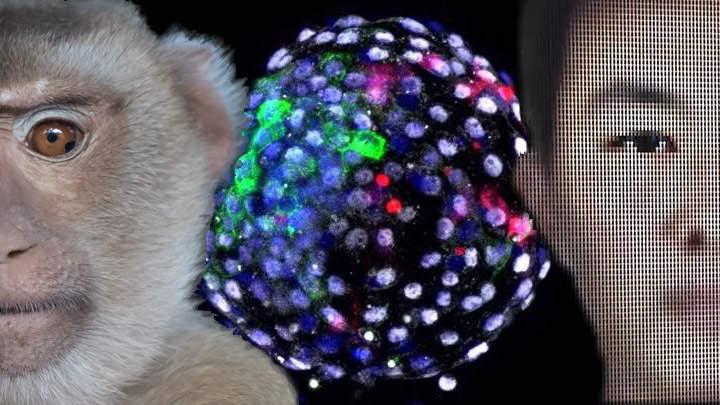 Científicos crean embriones «quimera»: parte humanos y parte mono | Noticiero Universal